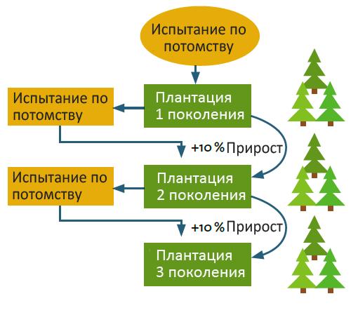 Схематическое пошаговое представление селекции на семенных плантациях лесного хозяйства. Проведение нескольких циклов испытания по потомству и отбора элитных клонов позволяет достичь существенного прироста производительности.
