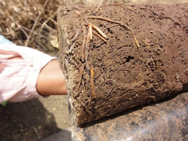 саженцы могут погибать из-за акручивания корня