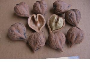 сердцевидный орех плоды
