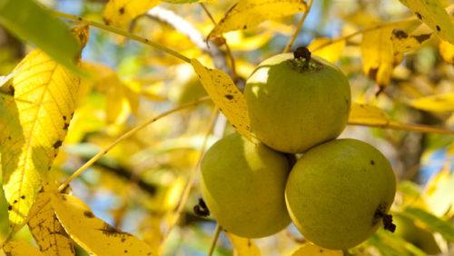 черный орех, плоды созревают