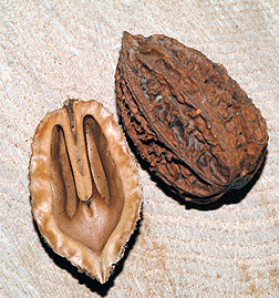 Серый орех