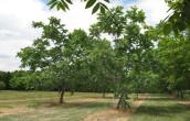 дерево сердцевидный орех