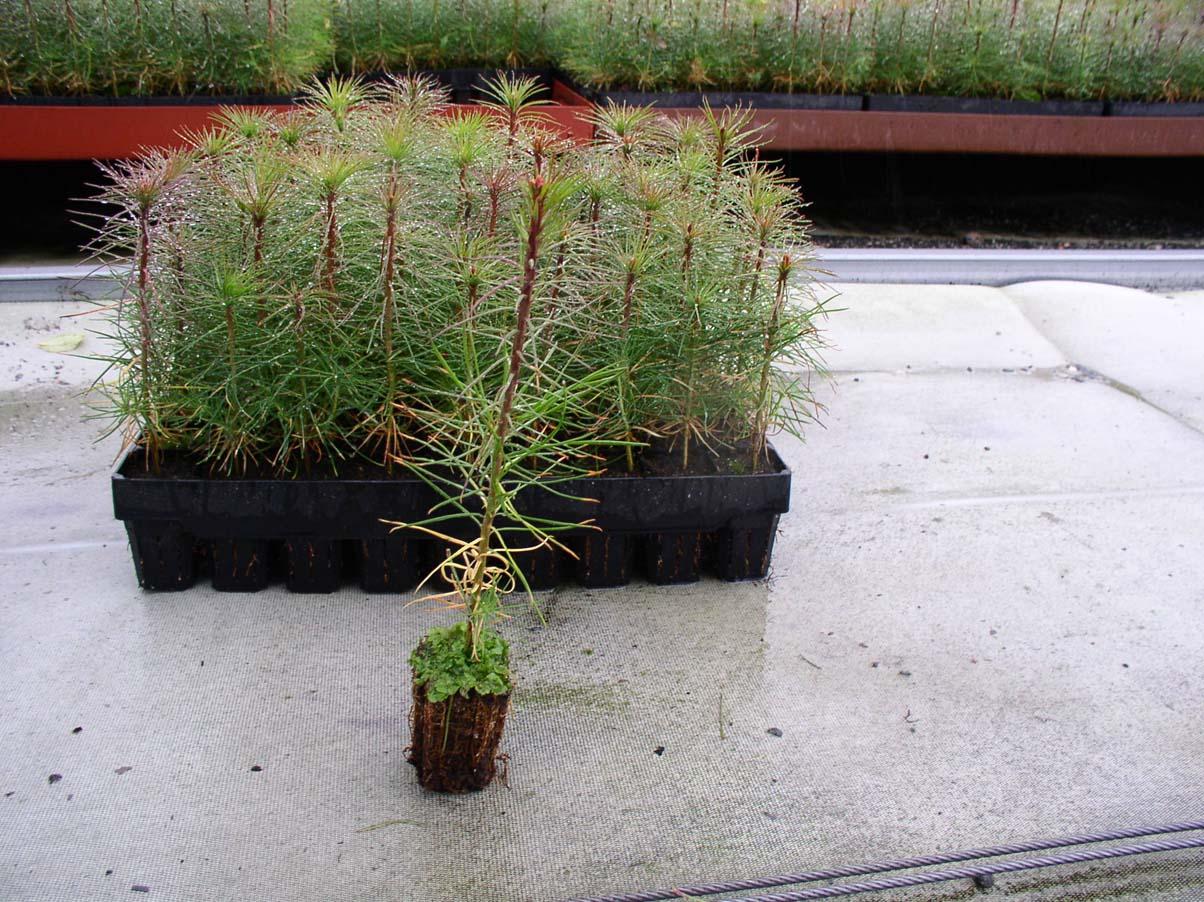 Выращивание саженцев с закрытой корневой системой 17