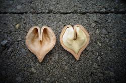 сердцевидный орех