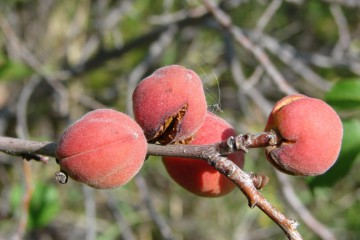 абрикос сибирский