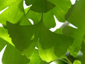 листья гингко билобы