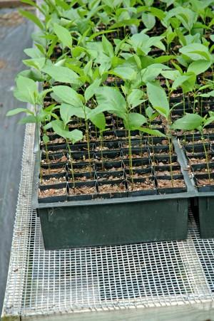 выращивание саженецев