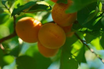 Саженцы абрикоса обыкновенного жердели