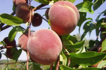 205_Prunus_persica_x_0