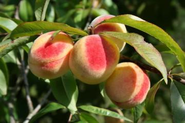 Саженцы персика гибридного морохостойкого