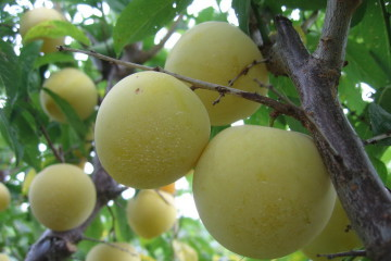 209_Prunus_ussuriensis_0