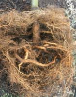 Деформации корня саженцев