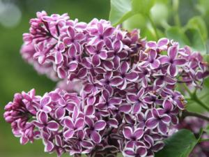 Сирень «Сенсация» пурпурная, простая