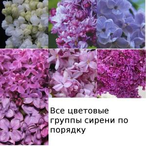 Цветовые группы сирени