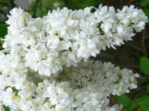 Сирень «Память о Колесникове» белая, махровая
