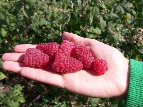ягоды малины брянское диво