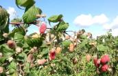 фото куст малины брянское диво