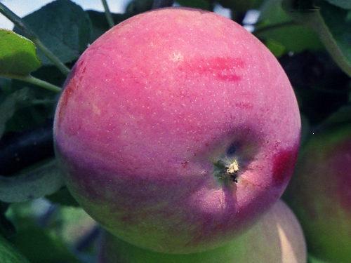 Яблоня «Жигулевское»