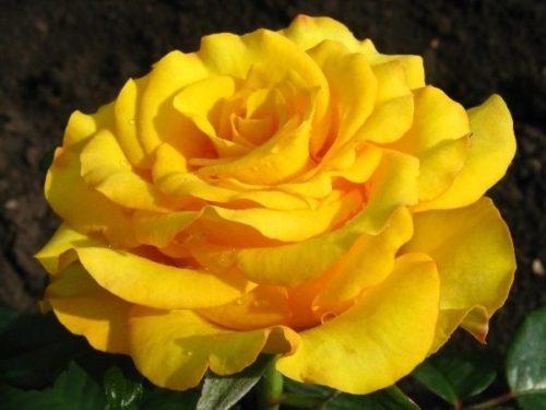 """Роза """"Керио"""""""