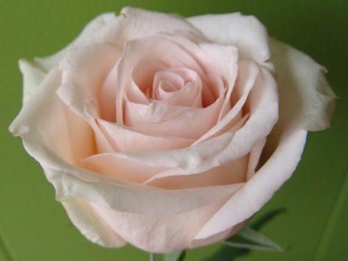 """Роза """"Ла Перла"""""""