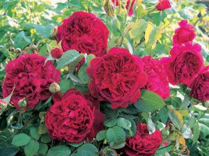 """Роза """"Вильям Шекспир"""""""
