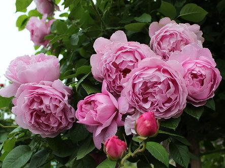"""Роза """"Мэри Роуз"""""""