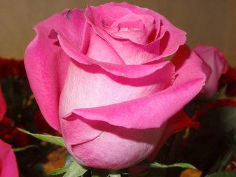 """Роза """"Топаз"""""""
