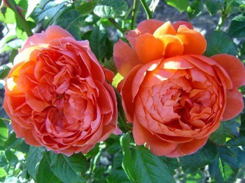 Цветов цветы оптом пионы и английская роза москва цветы цао москва