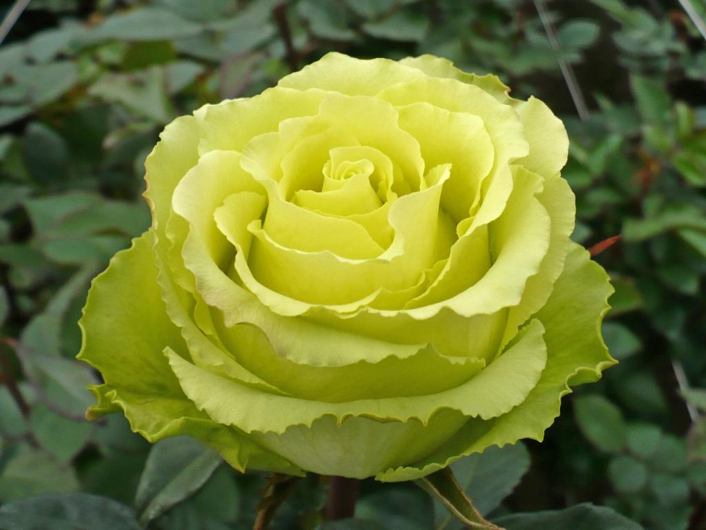 Фото сорт розы керио
