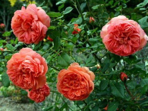 Роза «Саммер Сонг»