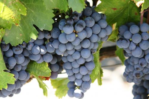 Саженцы неукрывного винограда