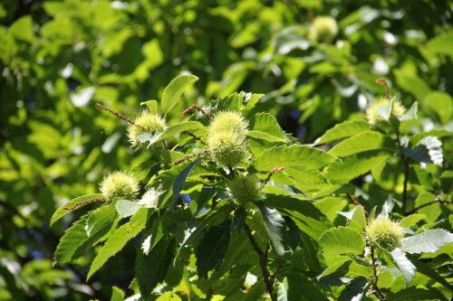 Созревающие плоды японского каштана