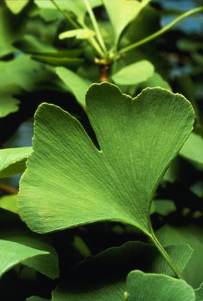 Гинко (лат. Gínkgo) — реликтовое растение, часто называемое живым ископаемым.