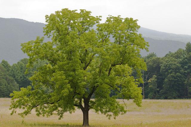 Черный орех дерево juglans nigra