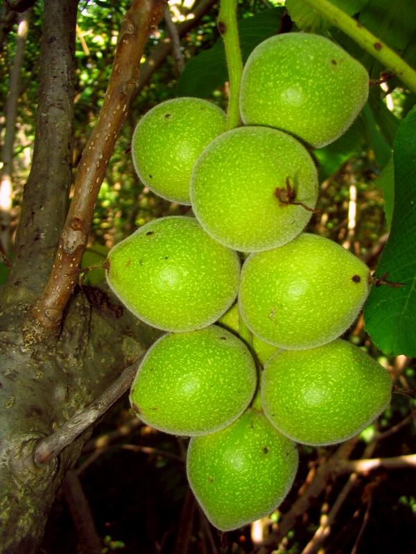 плоды сердцевидного ореха