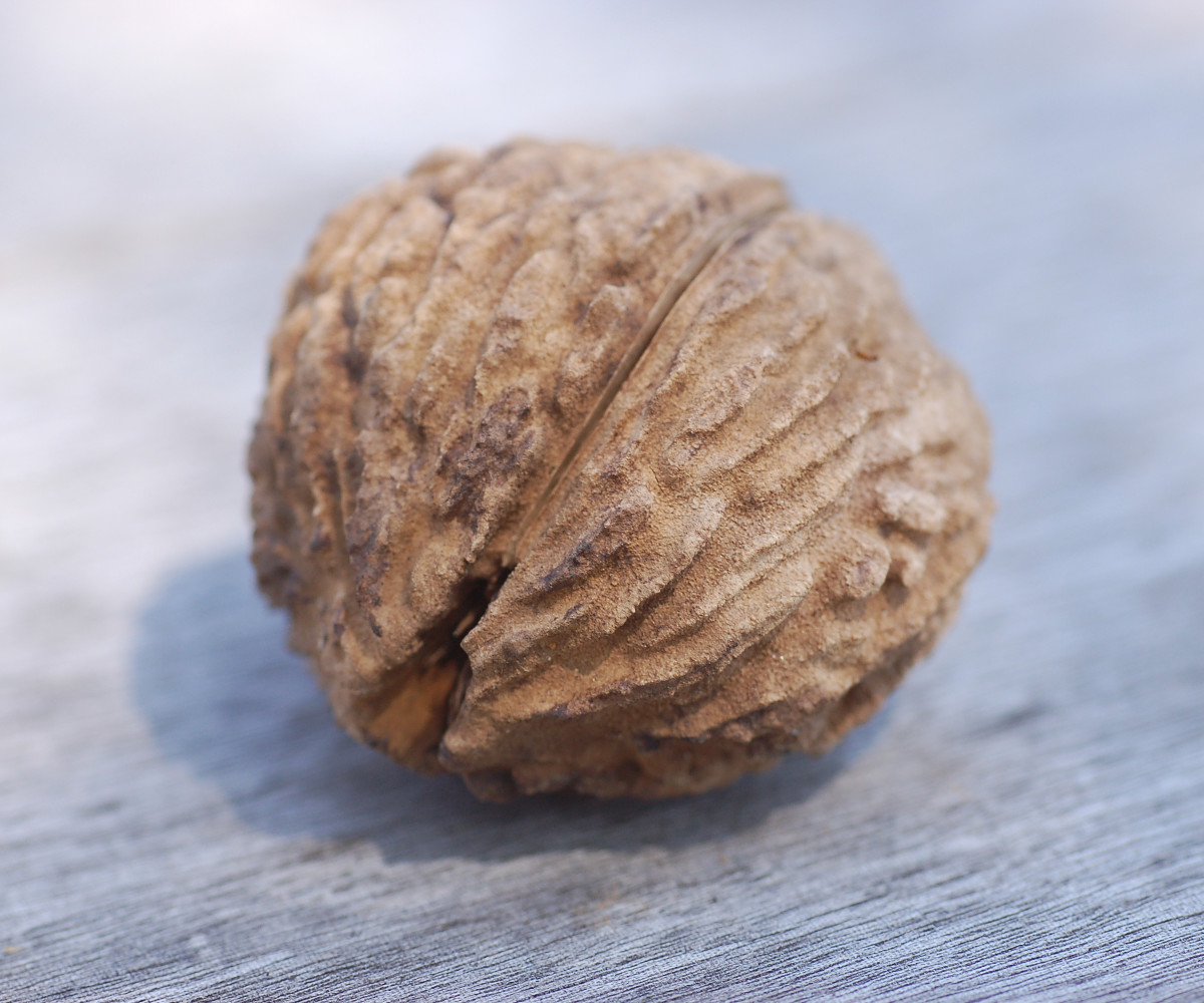 Черный орех картинка