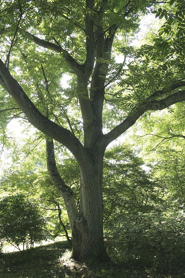 манчужрский орех взрослое дерево