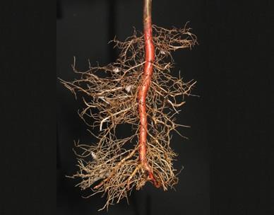 Саженцы ореха с идеальной корневой системой