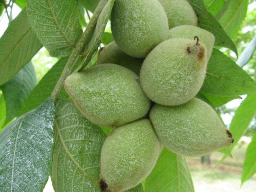 сердцевидный орех, плоды