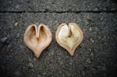 саженцы сердцевидный орех