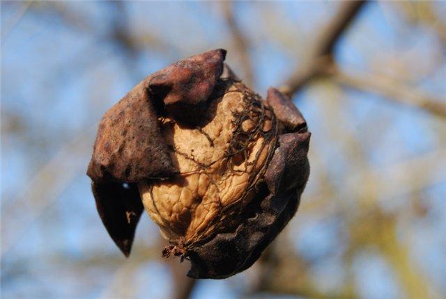 скороплодный грецкий орех