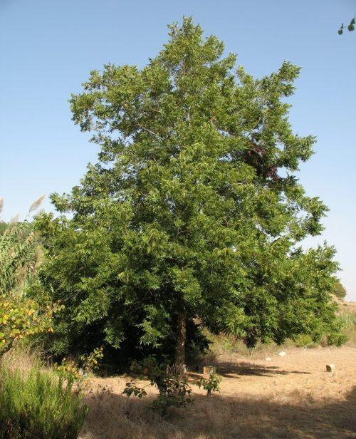 Дерево пекан Carya