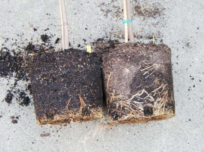 из-за нагрева горшка на разных сторонах по разному развиваются корни