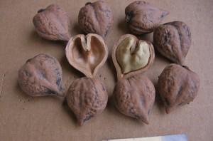 Сортовой сердцевидный орех