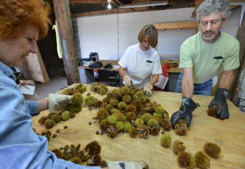 очистка собранного урожая, созревшие плоды вытряхивают из колючей оболочки.