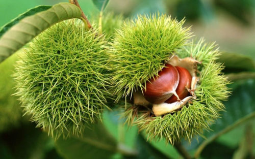 плоды каштана зубчатого Chestnut