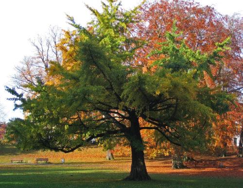 взрослое дерево гингко билобы