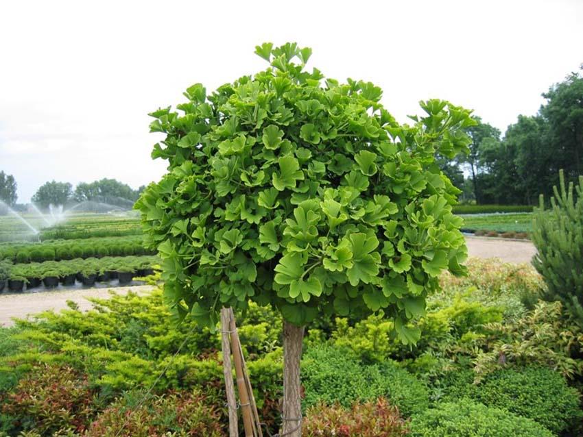 молодое дерево гингко билобы