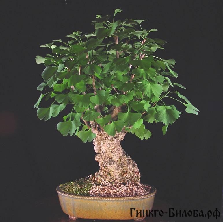 гингко можно выращивать дома, в горшке, дерево будет вечно зеленым