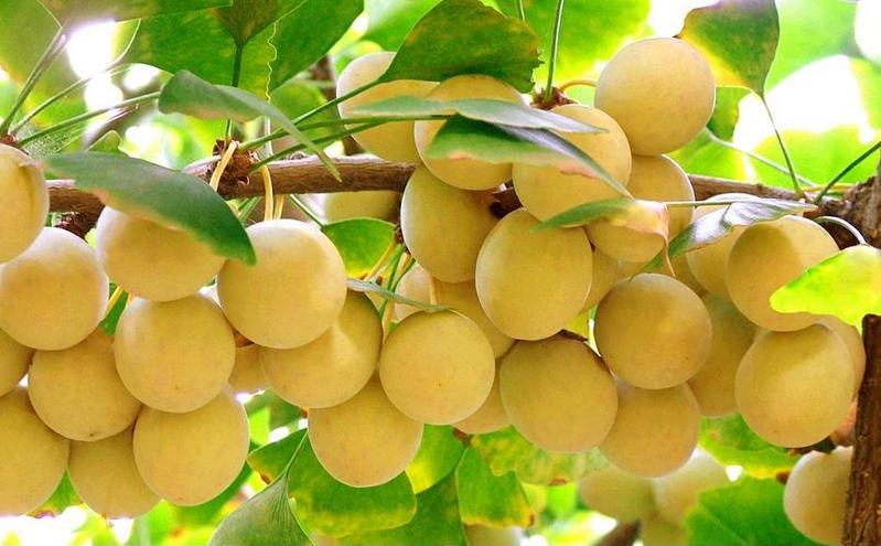 По Латыни оно пишется Ginkgo Biloba, что означает «серебряный абрикос».